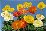 Papaver nudicale - Wonderland Mix (Poppy)